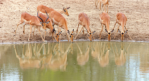 AFW 02 HP0005 01 © Kimball Stock Herd Of Impalas Drinking From Watering Hole Kruger National Park, South Africa