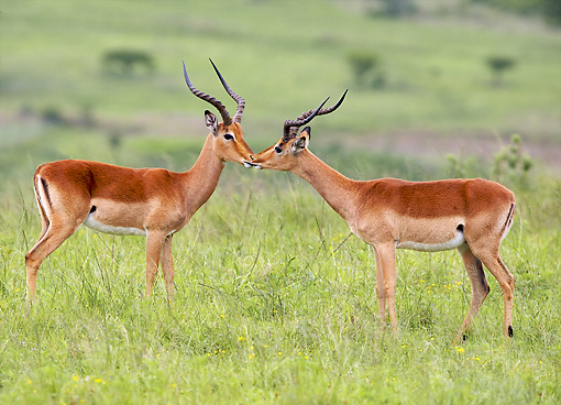 AFW 02 HP0007 01 © Kimball Stock Two Impalas Standing Face To Face Kruger National Park, South Africa