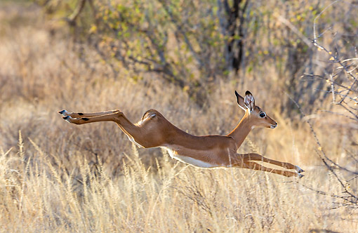 AFW 02 KH0003 01 © Kimball Stock Young Impala Jumping Across Grass At Samburu National Reserve, Kenya