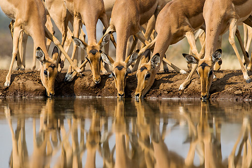 AFW 02 KH0005 01 © Kimball Stock Female Impalas Drinking At Waterhole In Botswana