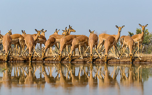 AFW 02 KH0006 01 © Kimball Stock Female Impalas Drinking At Waterhole In Botswana