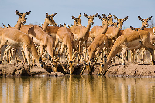 AFW 02 KH0007 01 © Kimball Stock Female Impalas Drinking At Waterhole In Botswana