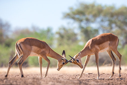 AFW 02 KH0011 01 © Kimball Stock Impalas Fighting In Botswana