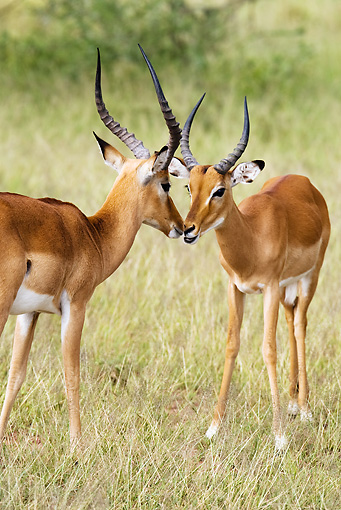 AFW 02 MC0001 01 © Kimball Stock Portrait Of Two Impala Males Facing Off Kenya