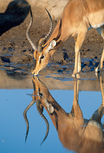 AFW 02 MH0001 01 © Kimball Stock Portrait Of Black-Faced Impala Male Drinking From Watering Hole