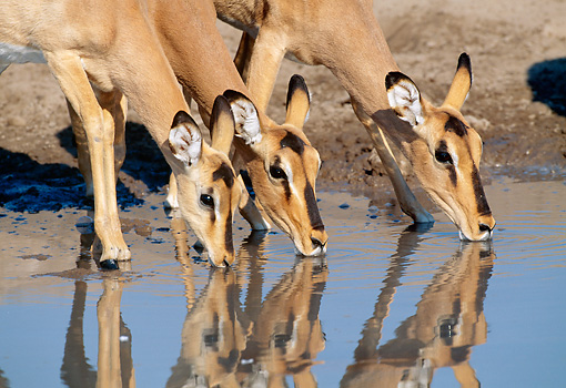 AFW 02 MH0002 01 © Kimball Stock Close-Up Of Black-Faced Impala Females Drinking From Watering Hole