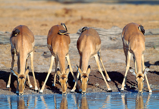 AFW 02 MH0005 01 © Kimball Stock Portrait Of Black-Faced Impala Females Drinking From Watering Hole