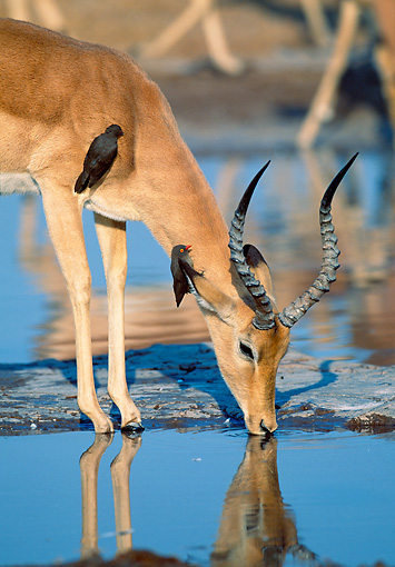 AFW 02 MH0006 01 © Kimball Stock Portrait Of Black-Faced Impala Male Drinking From Watering Hole