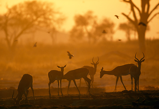 AFW 02 MH0009 01 © Kimball Stock Group Of Black-Faced Impala Standing In Grassland  At Sunset