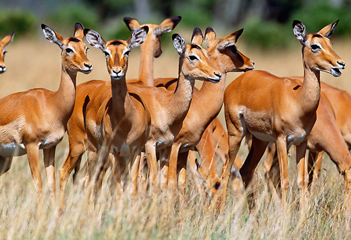 AFW 02 MH0010 01 © Kimball Stock Group Of Black-Faced Impala Females Standing In Grassland