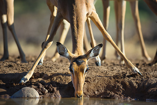 AFW 02 MH0012 01 © Kimball Stock Impala Drinking At Waterhole At Mashatu Game Reserve, Botswana