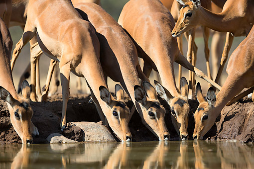 AFW 02 MH0013 01 © Kimball Stock Impala Drinking At Waterhole At Mashatu Game Reserve, Botswana