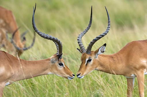 AFW 02 NE0003 01 © Kimball Stock Close-Up Of Two Male Impala Standing On Savanna Kenya