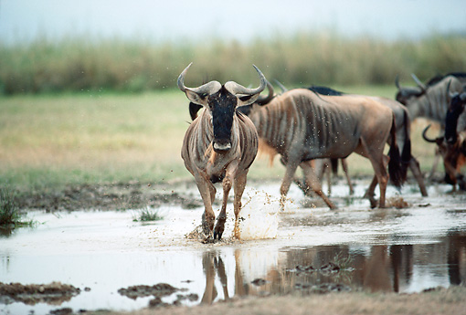 AFW 03 BA0001 01 © Kimball Stock Herd Of Wildebeest Walking In Puddle On Savanna