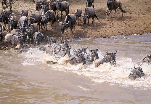AFW 03 GL0002 01 © Kimball Stock Group Of Black Wildebeest (White-Tailed Gnu) Walking Through Stream