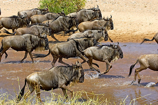 AFW 03 GL0005 01 © Kimball Stock Herd Of Blue Wildebeest Crossing River In Masai Mara, Kenya