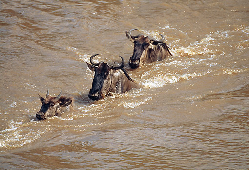 AFW 03 GL0006 01 © Kimball Stock Three Wildebeest Walking Across River In Kenya
