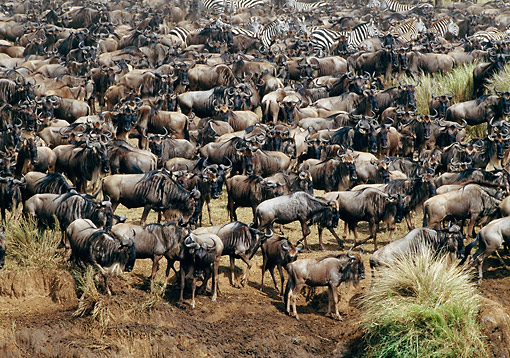 AFW 03 GL0008 01 © Kimball Stock Herd Of Blue Wildebeest With Zebras In Masai Mara, Kenya
