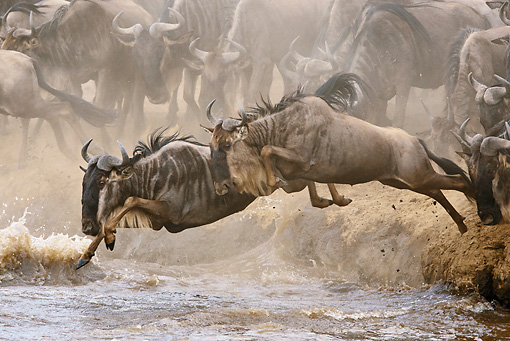 AFW 03 MC0004 01 © Kimball Stock Herd Of White-Bearded Wildebeests Crossing River Kenya