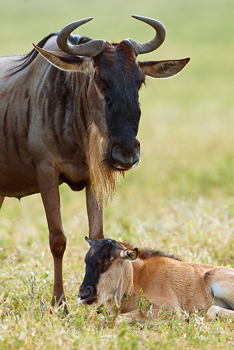 AFW 03 MC0005 01 © Kimball Stock Portrait Of Wildebeest Mother With Newborn Calf Tanzania