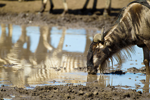 AFW 03 MC0007 01 © Kimball Stock Wildebeest Drinking From Watering Hole By Reflections Tanzania