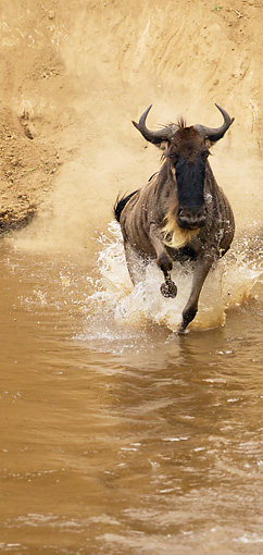 AFW 03 MC0008 01 © Kimball Stock White-Bearded Wildebeest Crossing Mara River Kenya