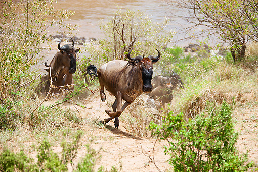 AFW 03 MC0009 01 © Kimball Stock Herd Of White-Bearded Wildebeest Crossing Mara River Kenya