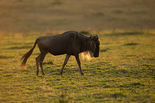 AFW 03 MC0011 01 © Kimball Stock White-Bearded Wildebeest (Or Gnu) Walking At Sunset, Kenya
