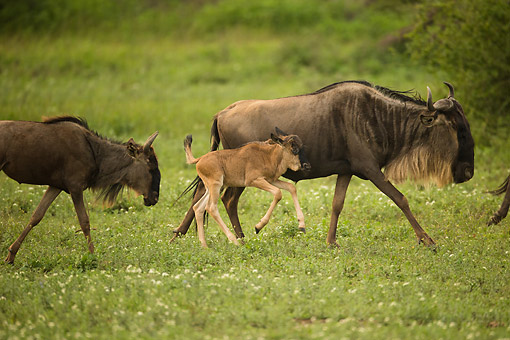 AFW 03 MC0014 01 © Kimball Stock White-Bearded Wildebeest (Or Gnu) Mother Walking With Newborn Calf On Grass, Tanzania