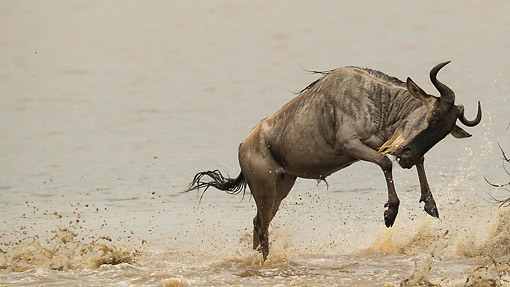 AFW 03 MC0015 01 © Kimball Stock White-Bearded Wildebeest (Or Gnu) Running Through Water With Herd, Tanzania