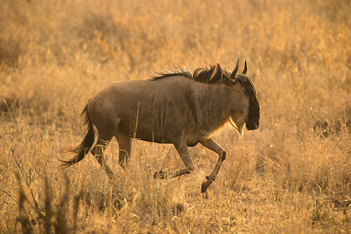 AFW 03 MC0022 01 © Kimball Stock White-Bearded Wildebeest (Or Gnu) Running In Grass, Tanzania