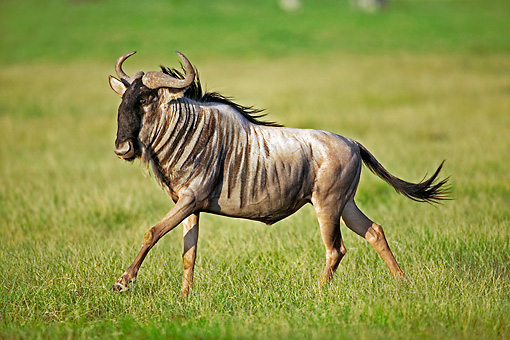 AFW 03 MH0001 01 © Kimball Stock Blue Wildebeest Running On Savanna