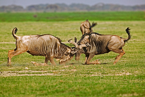 AFW 03 MH0002 01 © Kimball Stock Two Blue Wildebeest Fighting On Savanna