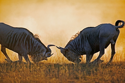 AFW 03 MH0003 01 © Kimball Stock Two Blue Wildebeest Fighting On Savanna
