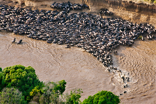 AFW 03 MH0005 01 © Kimball Stock Herd Of Wildebeest Trapped By High Cliffs While Crossing Mara River Kenya