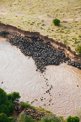 AFW 03 MH0006 01 © Kimball Stock Herd Of Wildebeest Trapped By High Cliffs While Crossing Mara River Kenya