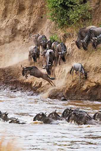 AFW 03 MH0007 01 © Kimball Stock Herd Of Wildebeest Crossing Mara River Kenya