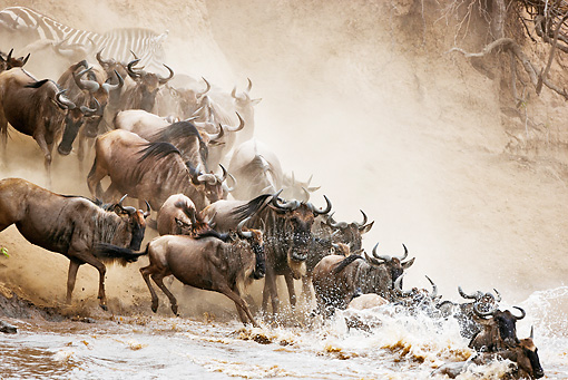 AFW 03 MH0008 01 © Kimball Stock Herd Of Wildebeest Crossing Mara River Kenya