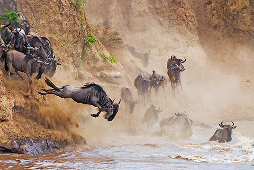 AFW 03 MH0009 01 © Kimball Stock Herd Of Wildebeest Crossing Mara River Kenya