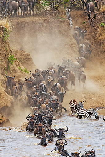 AFW 03 MH0010 01 © Kimball Stock Herd Of Wildebeest Crossing Mara River Kenya