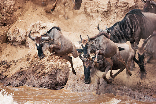 AFW 03 MH0011 01 © Kimball Stock Herd Of Wildebeest Crossing Mara River Kenya