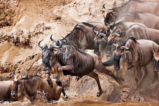 AFW 03 MH0012 01 © Kimball Stock Herd Of Wildebeest Crossing Mara River Kenya