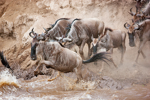 AFW 03 MH0013 01 © Kimball Stock Herd Of Wildebeest Crossing Mara River Kenya