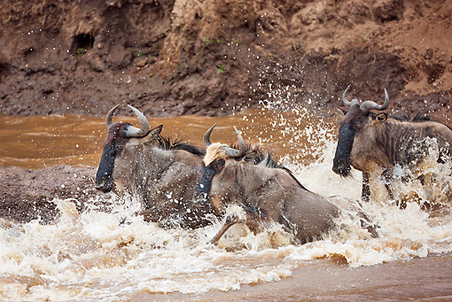 AFW 03 MH0014 01 © Kimball Stock Herd Of Wildebeest Crossing Mara River Kenya