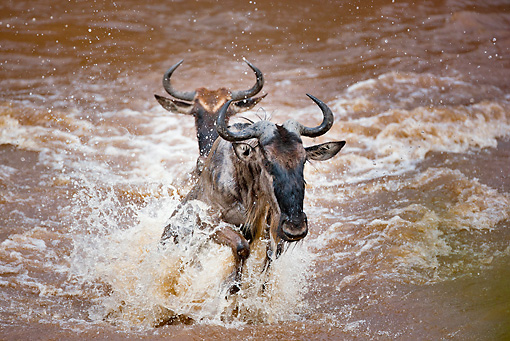 AFW 03 MH0015 01 © Kimball Stock Two Wildebeest Crossing Mara River During Migration Kenya