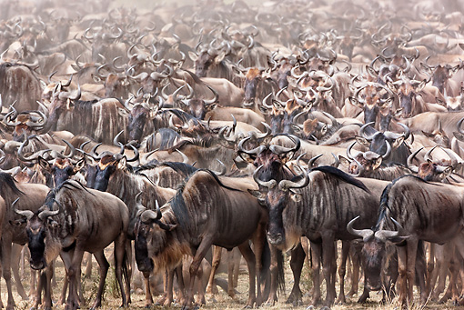 AFW 03 MH0020 01 © Kimball Stock Herd Of Wildebeest Migrating Kenya