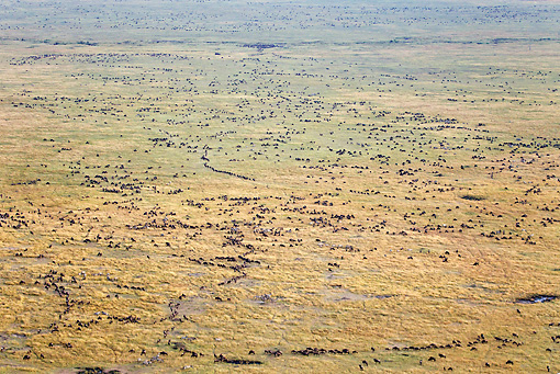 AFW 03 MH0023 01 © Kimball Stock Herd Of Wildebeest Migrating Kenya