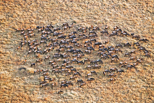AFW 03 MH0024 01 © Kimball Stock Herd Of Wildebeest Migrating Kenya