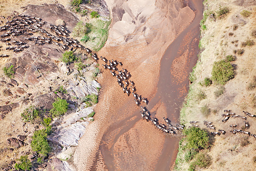 AFW 03 MH0027 01 © Kimball Stock Herd Of Wildebeest Crossing Mara River During Migration Kenya