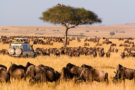 AFW 03 DB0001 01 © Kimball Stock Herd Of Wildebeest In Africa